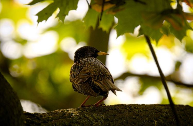 starling-in-maple-tree