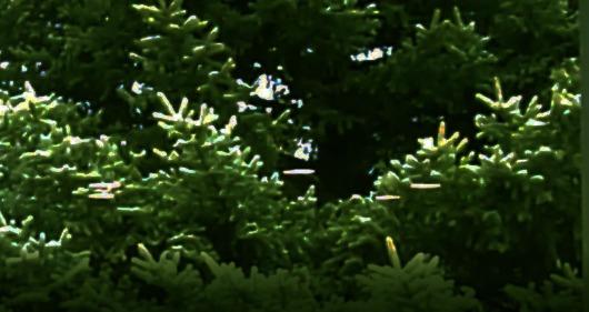 flagstaff-pine3