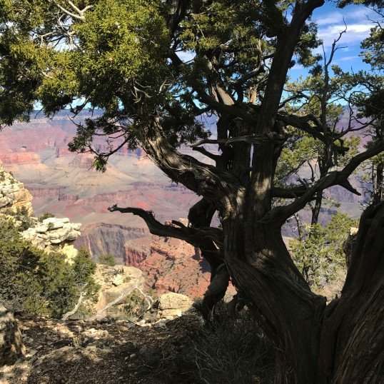 twisted tree in canyon