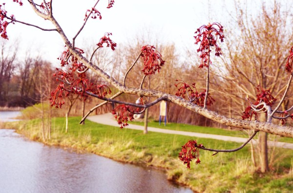 red budding tree
