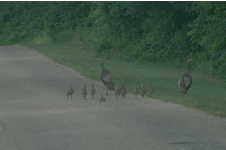wild turkeys on road photo