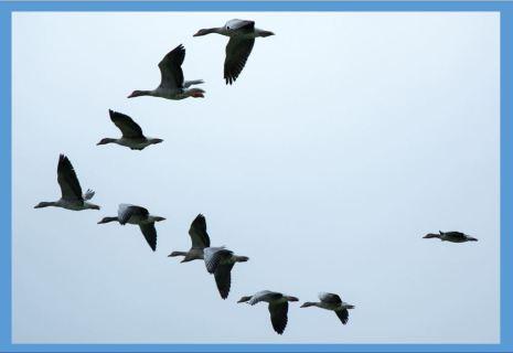 geese migratine