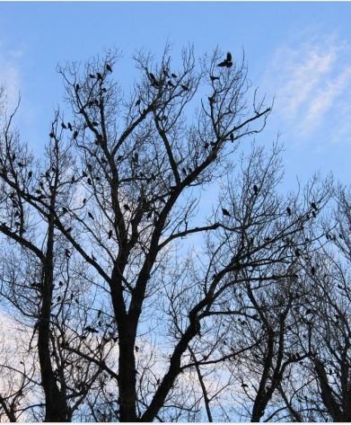 crows in bare tree